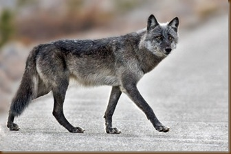 gray_wolf_5932_np