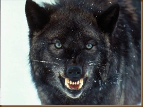 Wolf Growling_and_Angry-ab